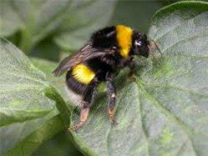 Bu arı örümcekleri zombiye dönüştürüyor!