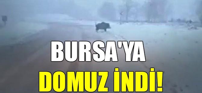 Bursa'ya domuz indi!