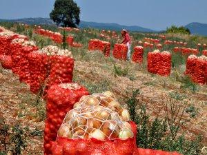 Bursa'da soğan hasadı başladı!