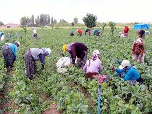 Bursa Yenişehir'de çiftçi zor durumda!