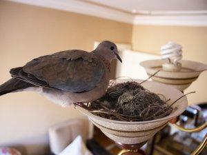 Bursa'da kuşlar öyle bir yere yuva yaptı ki!