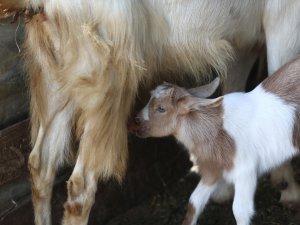 Bursa'daki bu keçilerin sütü bir başka