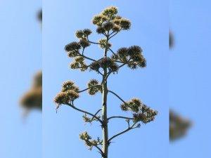 Bursa'da bu bitki 29 yıl sonra çiçek açtı