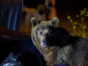 Bursa'da aç kalan ayılar yerleşim yerine indi