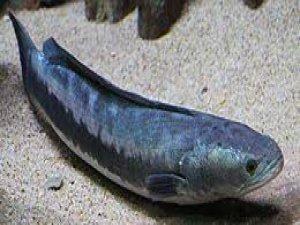 ABD'de Yılanbaş balığı alarmı