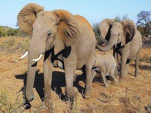 Açık artırmayla fil avlama