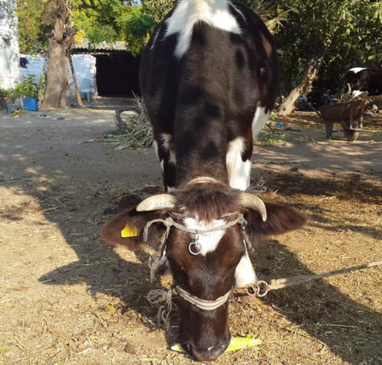 Bu inekler çok akıllı!