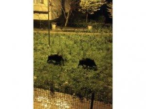 Dağlara kar yağdı domuz sürüsü şehre indi