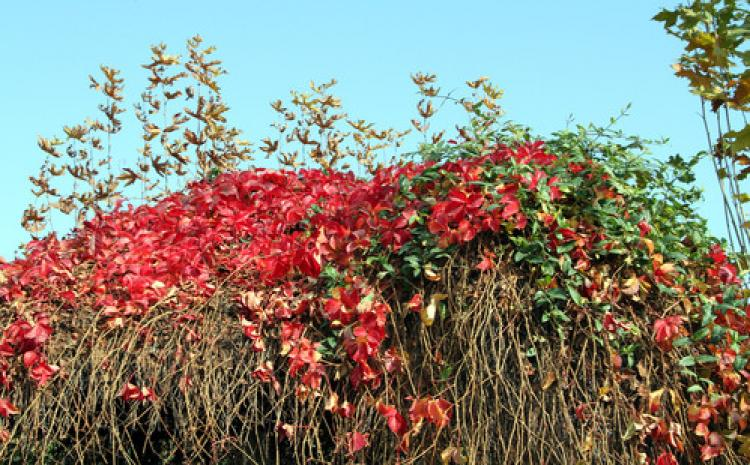 Sarmaşık yapraklarında kırmızı ve yeşilin dansı