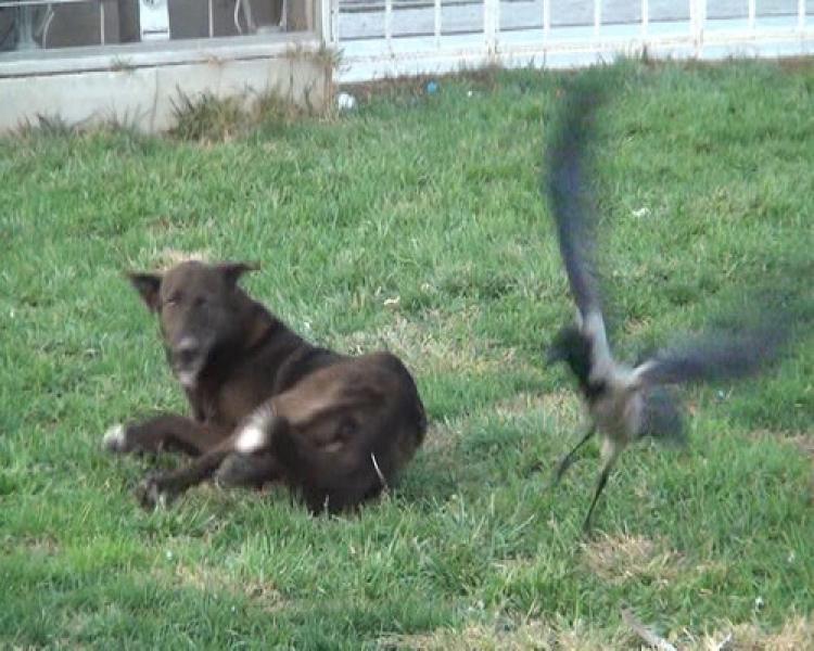 Karga ile köpeğin kavgası kamerada