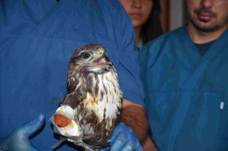 Çuval içinde bulunan yaralı akbaba tedavi altına alındı