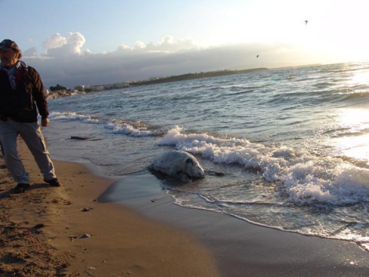 Ölü deniz kaplumbağası sahile vurdu