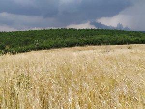 Siyez buğdayında hasat bereketi