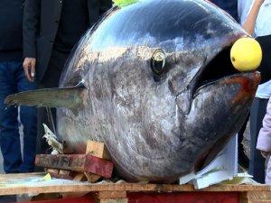 Dev balığa büyük ilgi