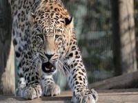 Meditasyon yapan rahibi leopar parçaladı!