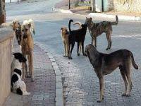 Sokak köpekleri yine dehşet saçtı!