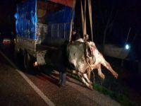 350 kiloluk ineği yoldan topladılar!