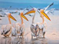 Ak pelikanların muhteşem dansı