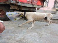 Kanser hastası köpek sağlığına kavuştu