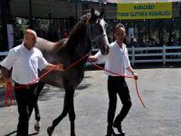 Arap Yarış Tayları Bursa'da görücüye çıktı