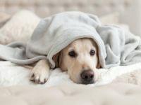 Köpekler neden üzgün bakar?