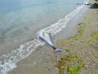 Bursa'da 90 kiloluk orkinos sahile vurdu