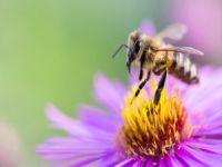 İngiltere'de 'Türk arısı' alarmı!