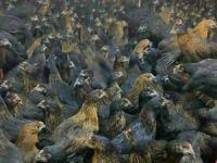 Yeni iş sektörü tavukçuluk!