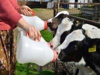 Süt üreticisine kötü haber!
