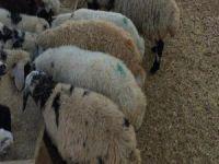 Köpekler koyunları telef etti!
