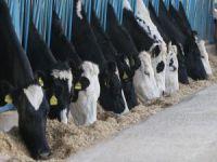 Çiftlik Bank'tan sonra Süt Bank...
