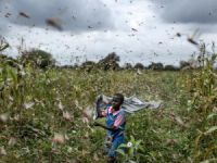 Afrika'da çekirge istilası