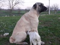 Köpek keçiye annelik yapıyor