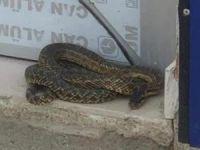 İznik'te yılan şoku!
