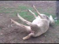 Tarım İlçe Müdürlüğü'nün küpelediği hayvanlar ölüyor!