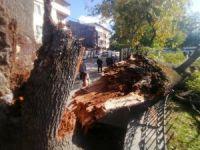 Deprem Bursa'da tarihi ağacı yıktı!