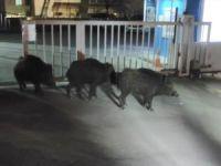 Bursa'da aç kalan domuzlar sokağa indi