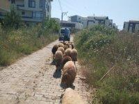 Koyunları zabıta buldu