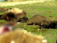 Bursa'da aç kurtlar sürüye saldırdı
