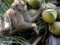 Çalışan maymunlar