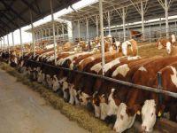 ESK, 60 bin baş sığır ithal edecek!